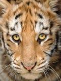 Cabeça do tigre de bebê do close up Imagens de Stock