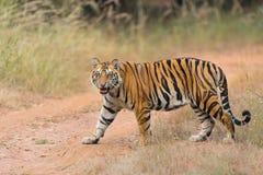 Cabeça do tigre sobre Imagem de Stock Royalty Free