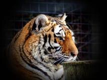 A cabeça do tigre, tigre em uma gaiola atrás das barras em um jardim zoológico Foto de Stock