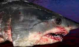Cabeça do tubarão Fotos de Stock Royalty Free