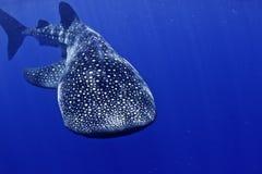 Cabeça do tubarão de baleia sobre imagens de stock