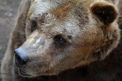 Cabeça do urso foto de stock
