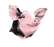 Cabeça do vetor manchado do esboço do porco ilustração royalty free