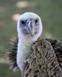 Cabeça dos abutres foto de stock