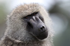 Cabeça dos babuínos Imagem de Stock