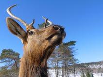 Cabeça dos cervos Fotografia de Stock