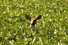 Cabeça dos cervos Foto de Stock Royalty Free