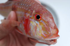 Cabeça dos peixes Fotografia de Stock Royalty Free