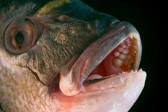 Cabeça dos peixes de Dorada Foto de Stock Royalty Free