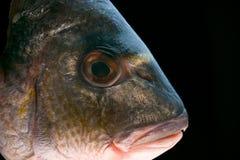 Cabeça dos peixes de Dorada imagem de stock royalty free