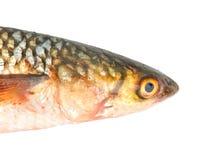 Cabeça dos peixes de Pelengas fotos de stock