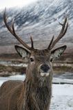 Cabeça dos veados nas montanhas escocesas Fotografia de Stock Royalty Free