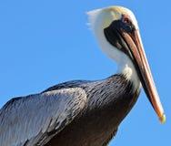 A cabeça e as asas dobradas de um pelicano marrom adulto norte-americano contra um céu azul brilhante imagens de stock