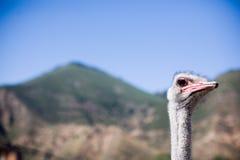Cabeça e garganta da avestruz Fotos de Stock