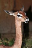Cabeça e garganta de Gerenuk Imagem de Stock Royalty Free
