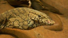 A cabeça e o pescoço bulboso de um lagarto do perentie filme