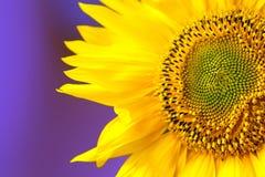 Cabeça e pétalas bonitas do girassol no fundo violeta Fotos de Stock