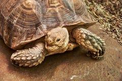 A cabeça e a parte da tartaruga Spurred africana do shell Imagens de Stock Royalty Free