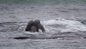 Cabeça e parte traseira de uma baleia direita do sul que olha com interesse, Hermanus, cabo ocidental África do Sul imagem de stock royalty free