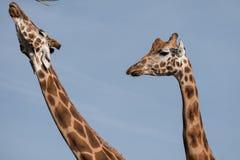 Cabeça e pescoço de dois girafas, fotografados contra o céu azul claro no porto Lympne Safari Park perto de Ashford, Kent, Reino  foto de stock royalty free