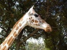 Cabeça e pescoço do girafa fotografia de stock royalty free
