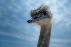 cabeça e pescoço do pássaro da avestruz próximos acima no fundo do céu azul Imagem de Stock Royalty Free