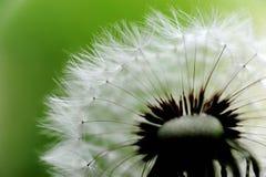Cabeça e sementes do dente-de-leão. marco fotografia de stock royalty free