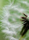 Cabeça e sementes do dente-de-leão. marco imagens de stock