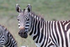 Cabeça girada zebra Imagens de Stock Royalty Free