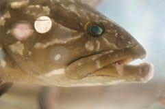 Cabeça grande dos peixes Imagem de Stock Royalty Free