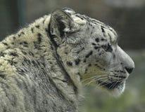 Cabeça impressionante de um leopardo de neve fotografia de stock