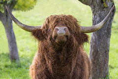 Cabeça levantada touro do gado das montanhas Imagens de Stock