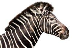 Cabeça masculina da zebra Imagens de Stock