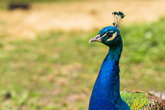 Cabeça masculina do pavão Fotos de Stock