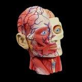 Cabeça modelo anatômica Fotografia de Stock Royalty Free
