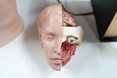 Cabeça modelo da anatomia fundo médico, rosto humano fotografia de stock royalty free