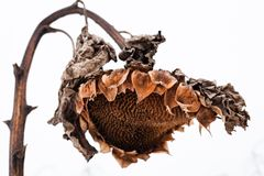 Cabeça murcho do girassol no inverno imagem de stock