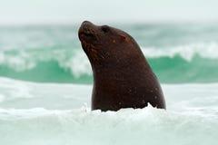 Cabeça na água Animais selvagens no oceano Selo nas ondas do mar Selo de Ilhas Falkland com focinho aberto e os olhos escuros gra Fotos de Stock Royalty Free