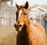 Cabeça na opinião um cavalo marrom com juba marrom na venda do cavalo do solavanco em Miles City Montana fotografia de stock