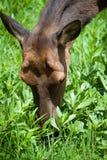 Cabeça nova dos cervos da jovem corça, alimentação da grama da corça Imagens de Stock
