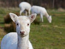 Cabeça nova dos cervos de Fallow Fotografia de Stock