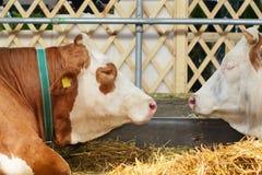 Cabeça, ombro e antebraço da vaca do Simmental Foco seletivo Foto de Stock Royalty Free