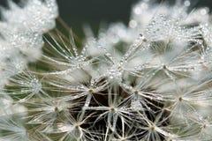 Cabeça orvalhado da semente do dente-de-leão Foto de Stock Royalty Free