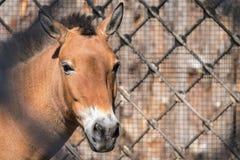 Cabeça ou focinho grande de um cavalo Fotos de Stock