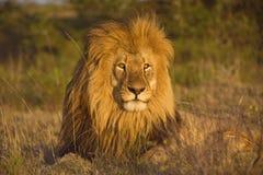 Cabeça perfeita do leão Fotos de Stock Royalty Free