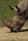 Cabeça preta do rinoceronte Imagem de Stock Royalty Free