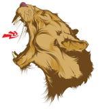 Cabeça rujindo do leão isolada no branco Fotografia de Stock Royalty Free