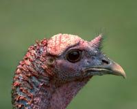 Cabeça selvagem de Turquia Fotos de Stock Royalty Free