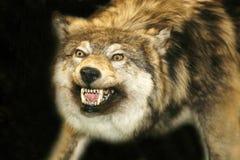 Cabeça selvagem do lobo com a boca aberta contra o fundo preto Imagens de Stock Royalty Free