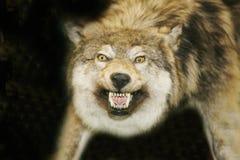 Cabeça selvagem do lobo com a boca aberta contra o fundo preto Imagem de Stock